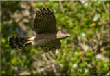 Coopers Hawk flying from new nest being built
