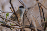 Mönchsgrasmücke ♂ (Sylvia atricapilla)