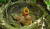 Robins-Two Days Old