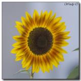 Sunflowers, Summer 2013