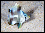 Juvenile Butterfly fish