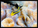 Yellownose Goby