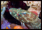 Red Hind with a Cleaning Goby
