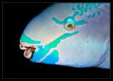Queen Parrotfish