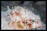 Mushroom Scorpionfish
