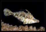 Slender FIlefish