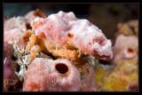 Spongy Decorator Crab