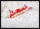 Harlequin Sea Goddess Nudibranch
