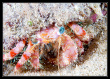 Stareye Hermit Crab