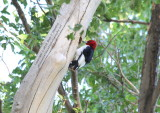 Red Headed Woodpecker - IMG_8063.JPG