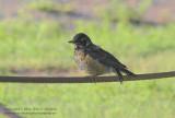 Fledgling Robin - IMG_8122.JPG