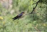 Barn Swallow - IMG_8721.JPG