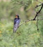 Barn Swallow - IMG_8670.JPG