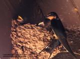 Barn Swallow Family - IMG_8852.JPG