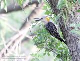 Golden Fronted Woodpecker - IMG_8996.JPG