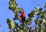 Cardinal - IMG_9020.JPG