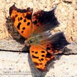 Butterfly - IMG_9615.JPG