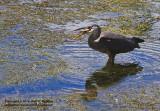 Blue Heron Entree - IMG_0443.JPG