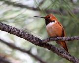 Rufous Hummingbird - IMG_0611.JPG