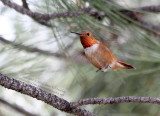 Rufous Hummingbird - IMG_0608.JPG