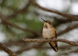 Immature Rufous Hummingbird - IMG_0605.JPG