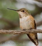 Immature Rufous Hummingbird - IMG_0603.JPG