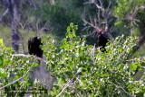 Vultures - IMG_2259.JPG