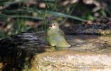 Orange Crowned Warbler - IMG_2324.JPG