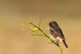 Pied Bushchat (Saxicola capratus)