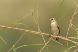 Pin-tailed Whydah, Female
