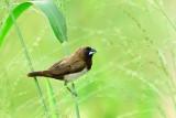 Javan Munia (Lonchura leucogastroides)