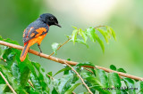 Scarlet Minivet (Pericrocotus flammeus) : Male