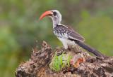 Western red-billed hornbill / Westelijke roodsnaveltok