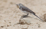 White wagtail / Witte kwikstaart