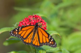 Monarch butterfly / Monarchvlinder