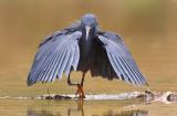 Black heron / Zwarte reiger