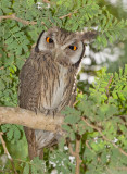 Northern White-faced Owl / Noordelijke witwangdwergooruil