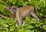 Green Monkey / Groene meerkat
