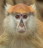 Patas monkey / Huzaaraap