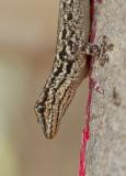 Chevron-throated dwarf gecko / Lygodactylus gutturalis