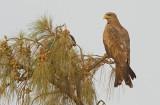 Yellow-billed kite / Geelsnavelwouw