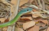 Northern Green Bush Snake / Philothamnus irregularis