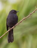 Northern Black Flycatcher / Senegalese Drongovliegenvanger