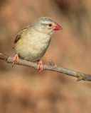 Red-billed Quelea / Roodbekwever