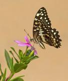 Citrus Swallowtail / Lemoenvlinder