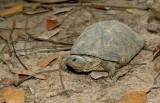 West African mud turtle / Bruine Klapborstschildpad