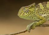 Chamaeleo gracilis / Graceful Chameleon