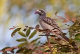 African Grey Hornbill / Grijze tok