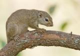 Gambian Sun Squirrel / Kleine zonne-eekhoorn