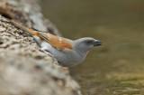 Grey-headed sparrow / Grijskopmus